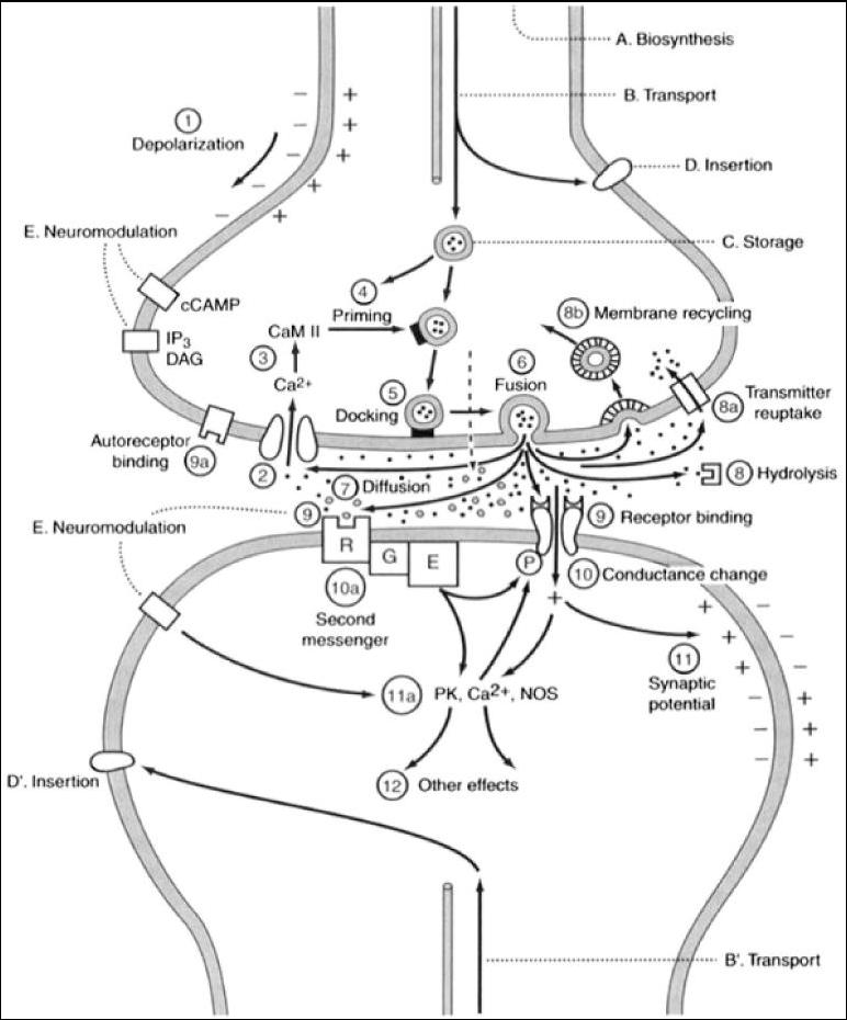 list of synonyms and antonyms of the word  synapse diagram